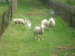 Poland farm sheep and goats