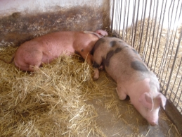 Polish farm pigs