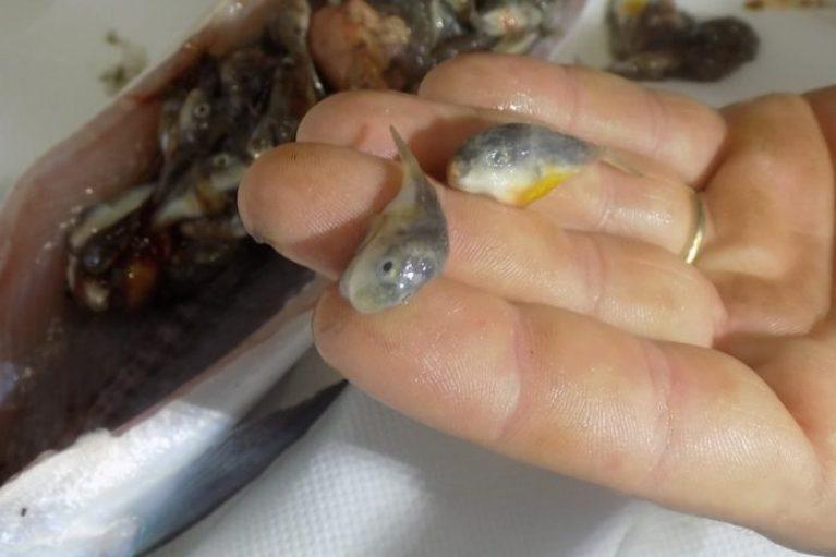 Καθάριζε ένα ψάρι και βρήκε μέσα του δεκάδες λαγοκέφαλους