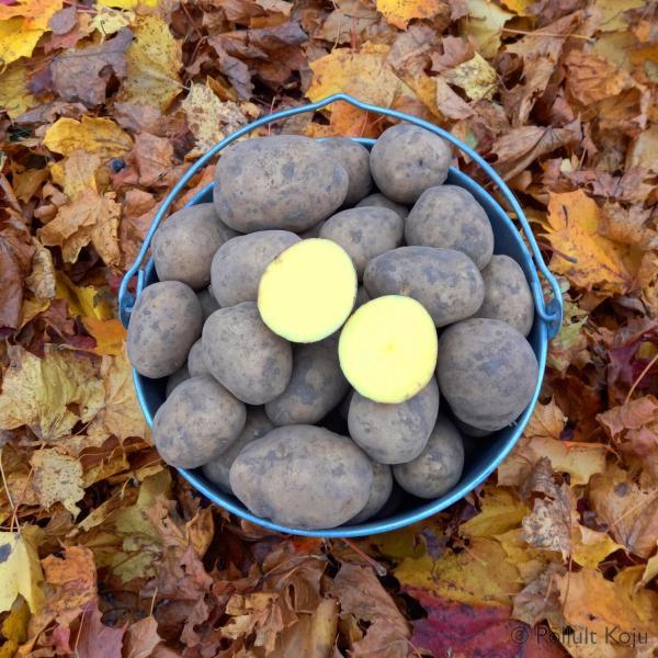 Kartul gala kojutoomisega kartuli müük talvekartul kartulisalv
