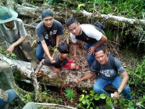 Polisi Temukan Pohon Ganja Di Kebun Kopi Milik Warga