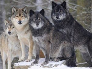 watahy wilków
