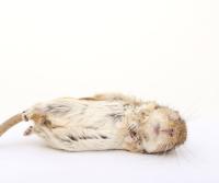 rat control, dead rat