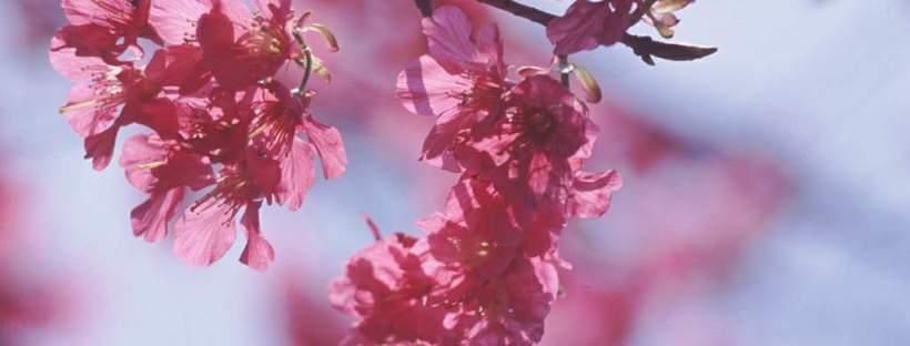 Surround yourself with symbols of your target language culture, like the cherry blossom of Japan