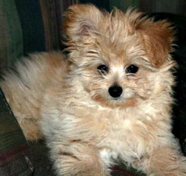 Pomeranian Husky Mix Information Read This Before Buying