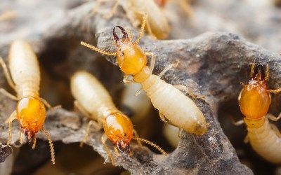 Amazing Facts About Termites