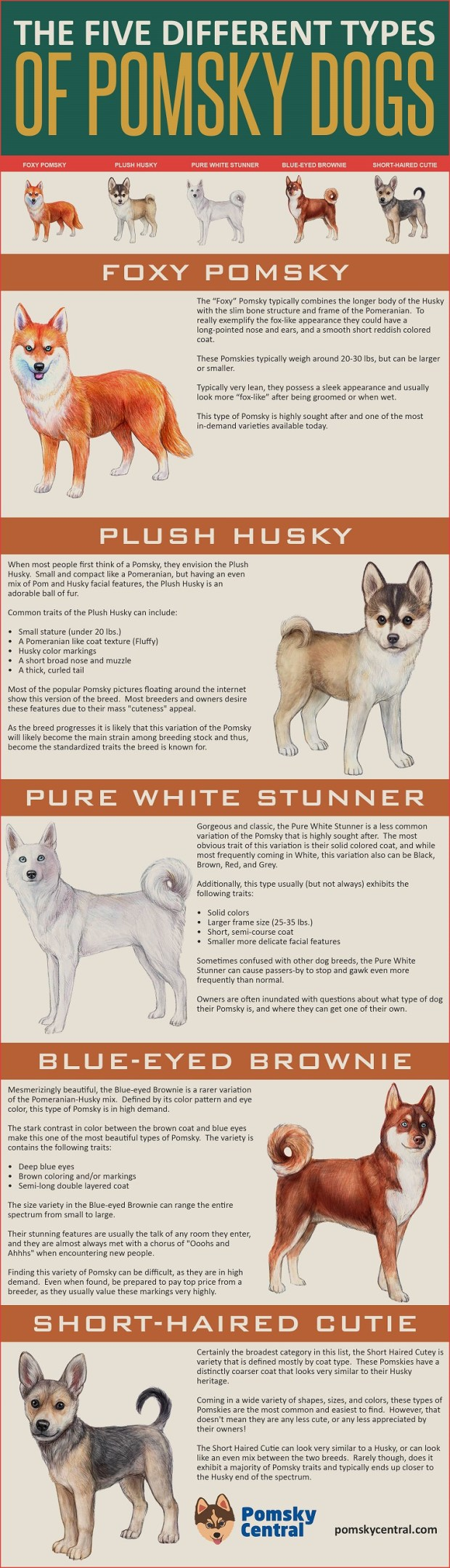 Infographic - The five different types of pomsky dogs: pure white stunner, foxy pomsky, blue eyed brownie, short haired cutie, and plush husky