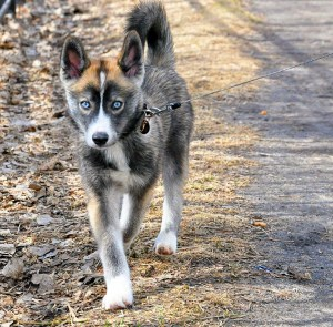 Tyus Jones Pomsky Dog Duke