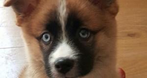 Pomsky Puppy Picture