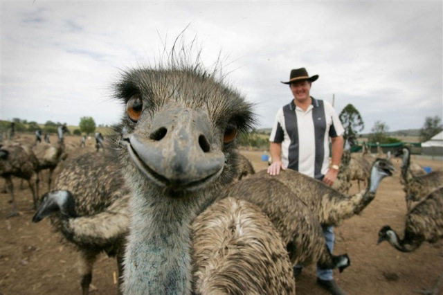 Photobombs Away: animal photobomb - head-on emu shot