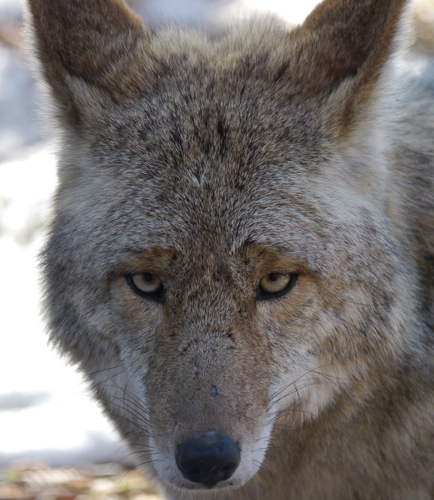 (Near a) Farm Living is the Life for Me - A coyote in winter