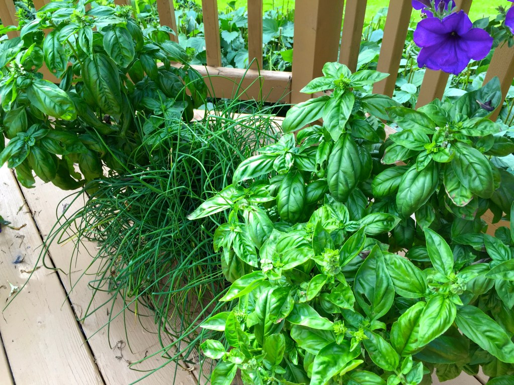 Recipes for summer zucchini and basil: Basil run amok!
