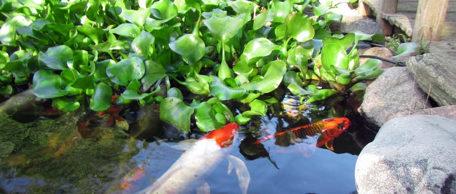 Water Plants And Fish