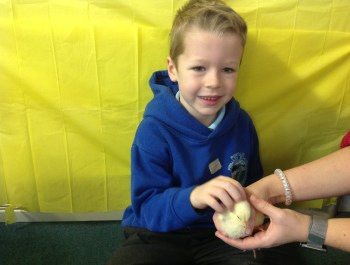 Baby Chicks in Reception!