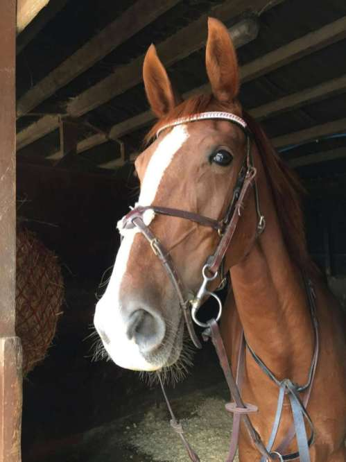 Beautiful jumping mare sporting her Crystal Browband