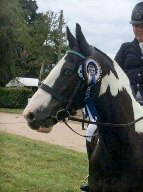Gorgeous coloured cob at dressage competition in his PonyCouture bling browband