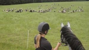 Ponys, die auf Schafe starren.
