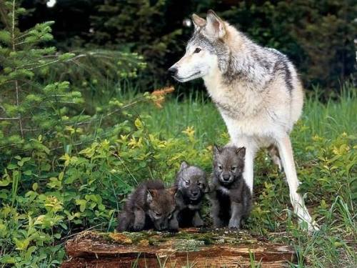 Beautiful Wolf Mom and 3 Pups