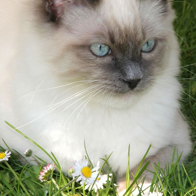 ragdoll cats breed profile
