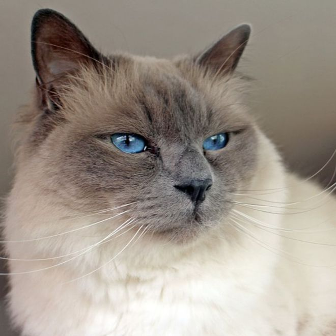 most popular cat breeds
