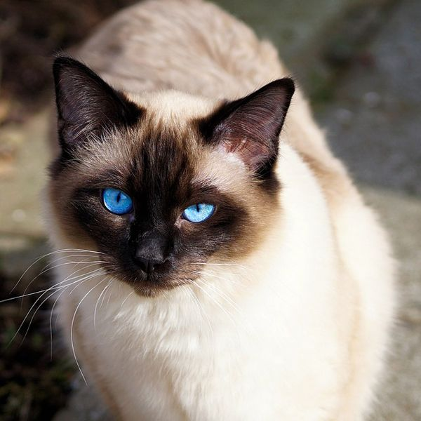 60 cool cat names for siamese cats