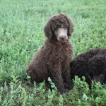 How Do You Get A Silver Beige Poodle Forum