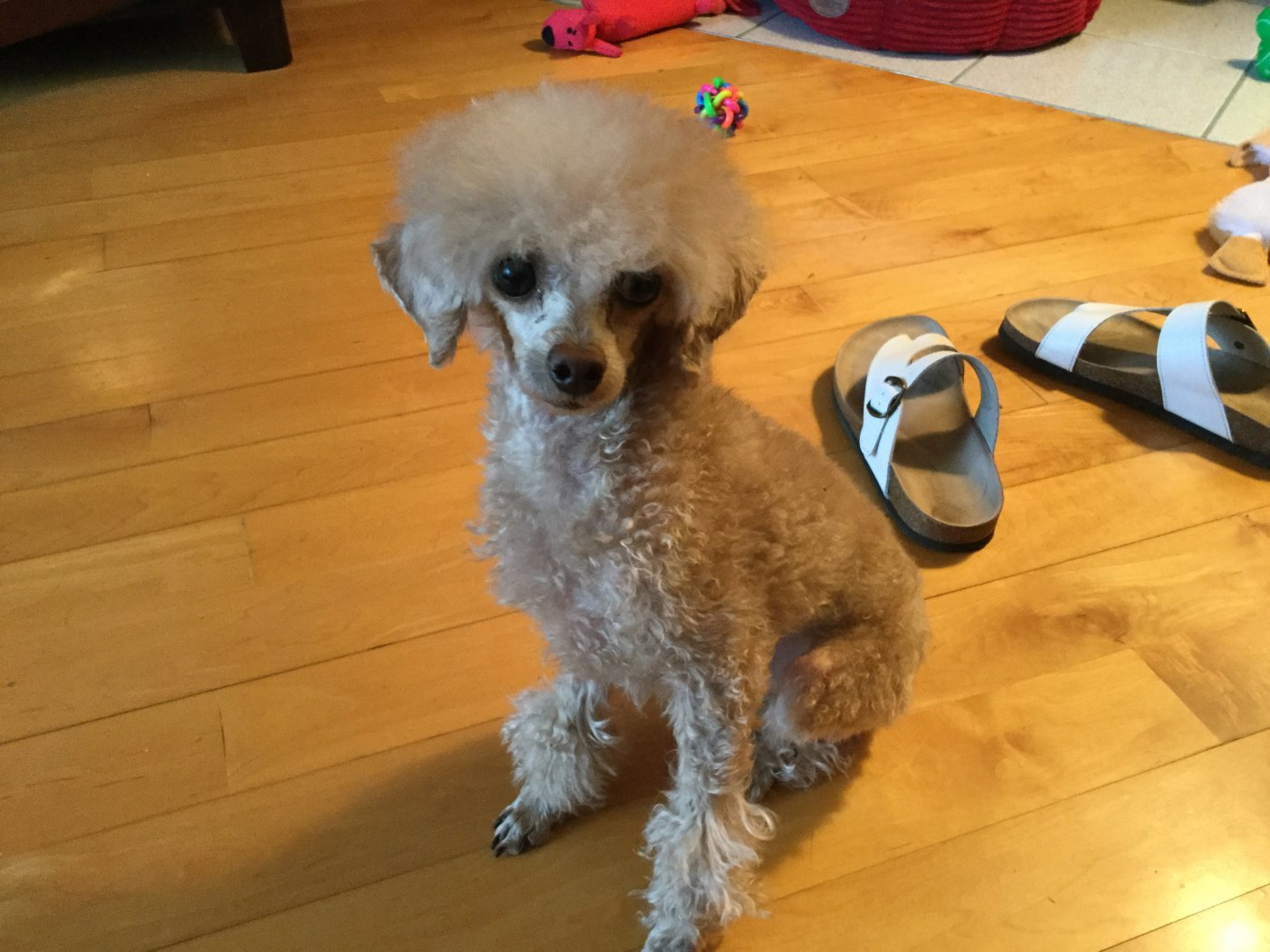 WANTED Pictures Of Poodles With Shaved Ears Page 2