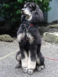 What Is Phantom Coloring Poodle Forum Standard Poodle
