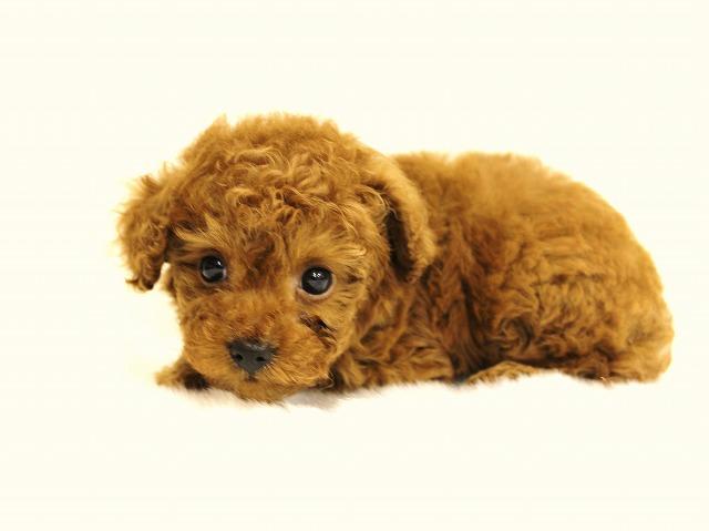 トイプードルの子犬を迎えたあとについて