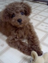 トイプードルの子犬 アニー