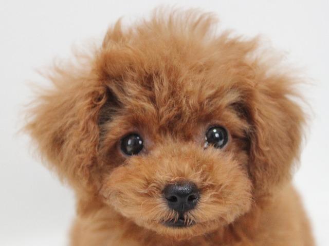 タイニープードルの子犬画像