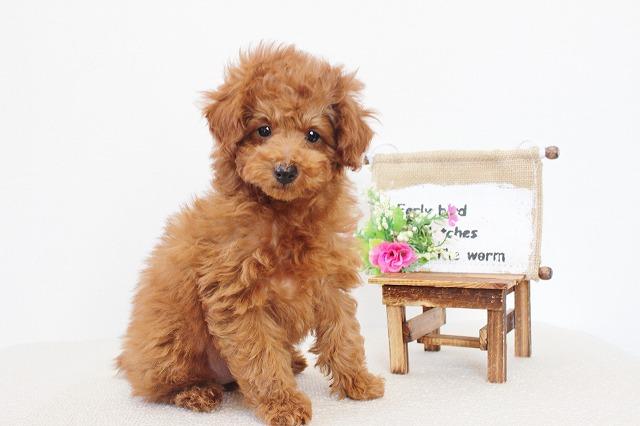 tiny-poodle1212c