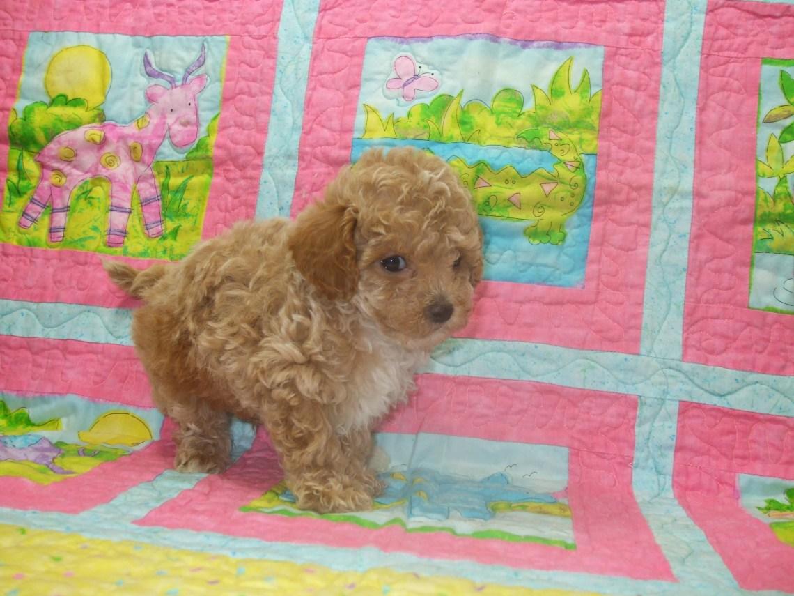 %name Mini Red Poodle