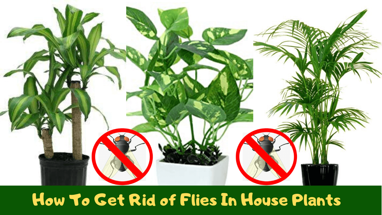 How To Get Rid Of Flies In House Plants
