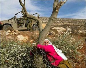 palestina olivo