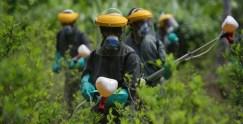 Distruzione di una coltivazione di cocaina.