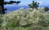 Retama raetam (ginestra bianca)
