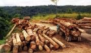 Una macchina che taglia alcuni alberi di una foresta. Di solito lavorano per le multinazionali occidentali.