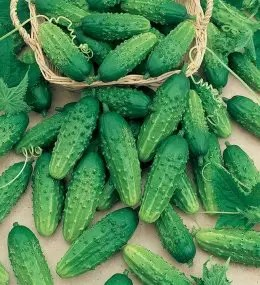 Cucumber Gherkin Piccolo Di Parigi