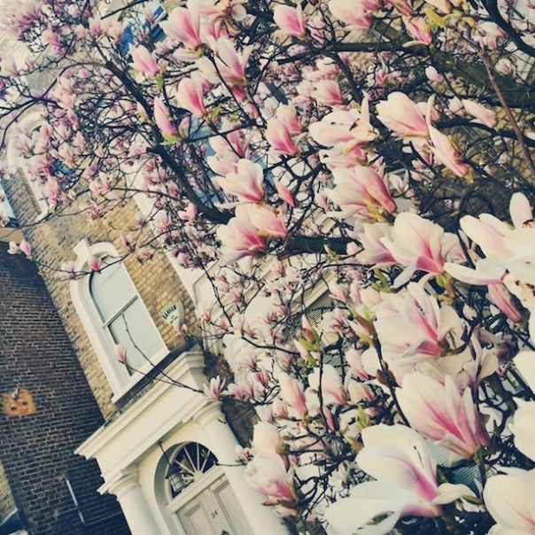 Magnolia Tree in Notting Hill