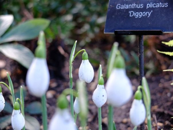 Snowdrops at Chelsea Physics Garden