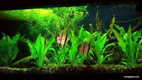 aquarium-angel-fish