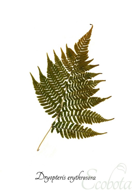 pressed-fern-art-print-fern-botanical-print-by-ecobota_small