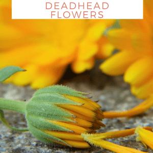 how to deadhead flowers easy gardening pop shop america (1)