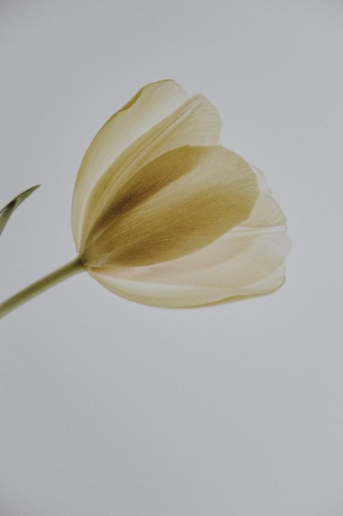 tulip pressed flower art print pop shop america