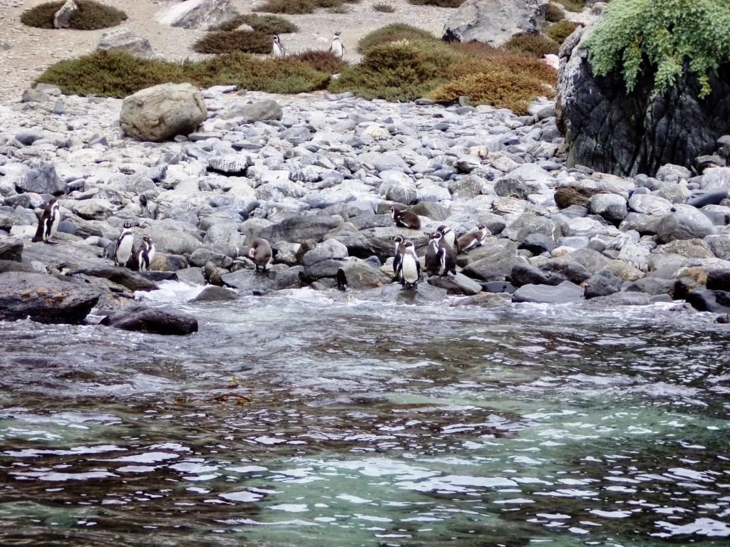 Pingüinos en Punta de Choros.