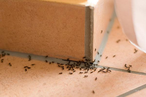 Jak se zbavit mravenců v domácnosti