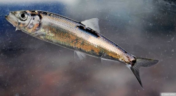 O arenque é o peixe mais rico em ômega-3