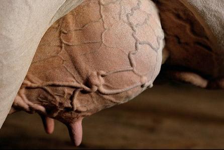 Expertos desarrollarán productos en base a cobre para controla las mastitis bovina