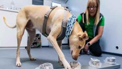 Photo of Fiéis e eficazes. Cães conseguem detetar covid-19, mas não estão a ser usados